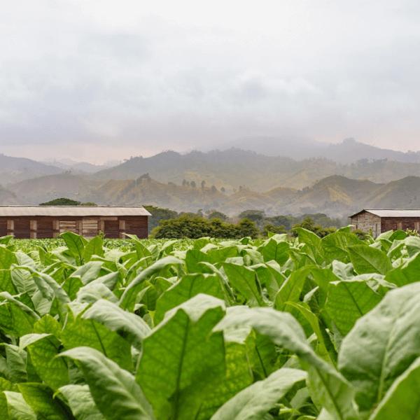 Plasencia Cigars - Cigars farm